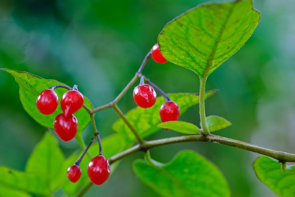 Bittersweet nightshade: Toxic weed with multi-colored berries.