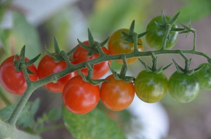 sweet million cherry tomatoes on the vine