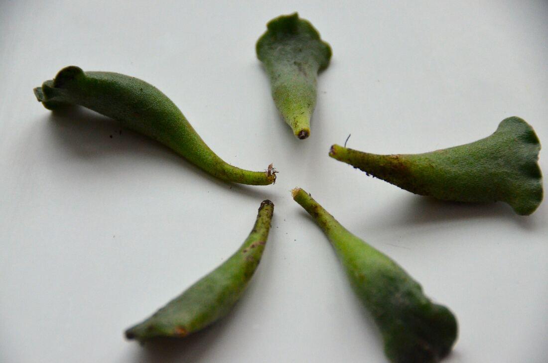 crinkle-leaf plant, Key Lime pie succulent cuttings