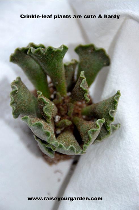 crinkle-leaf plant, Key Lime pie succulent