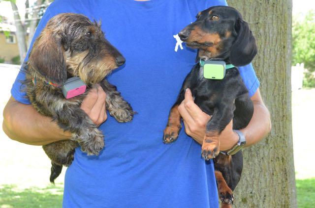 Mininature dachshunds