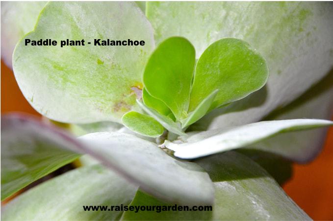 Kalanchoe flapjack, paddle plant