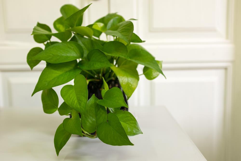 Golden Pothos (Devil's Ivy)