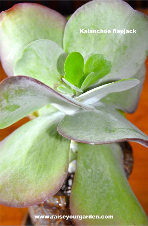 Kalanchoe Flapjacks, paddle plant