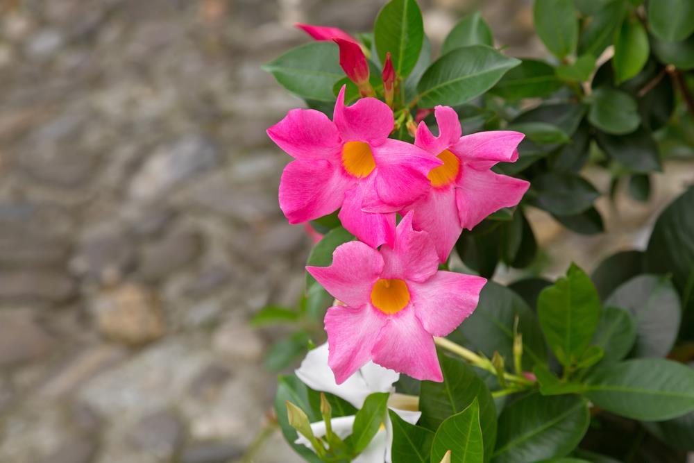 Pink Mandevillas