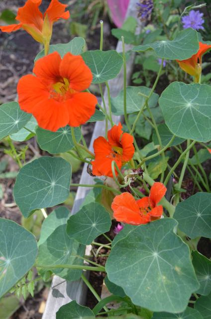 naturally growing and organic nasturtiums for saladsPicture