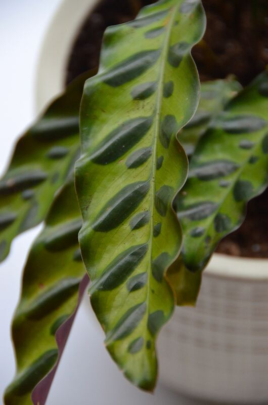This 'Rattlesnake Calathea' from Glasshouse Works is mind-blowing beautiful!