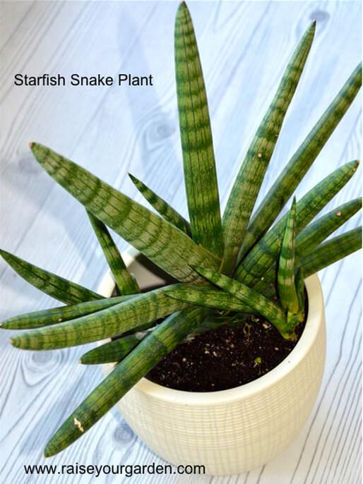 starfish snake plant, Sansevieria Cylindrica