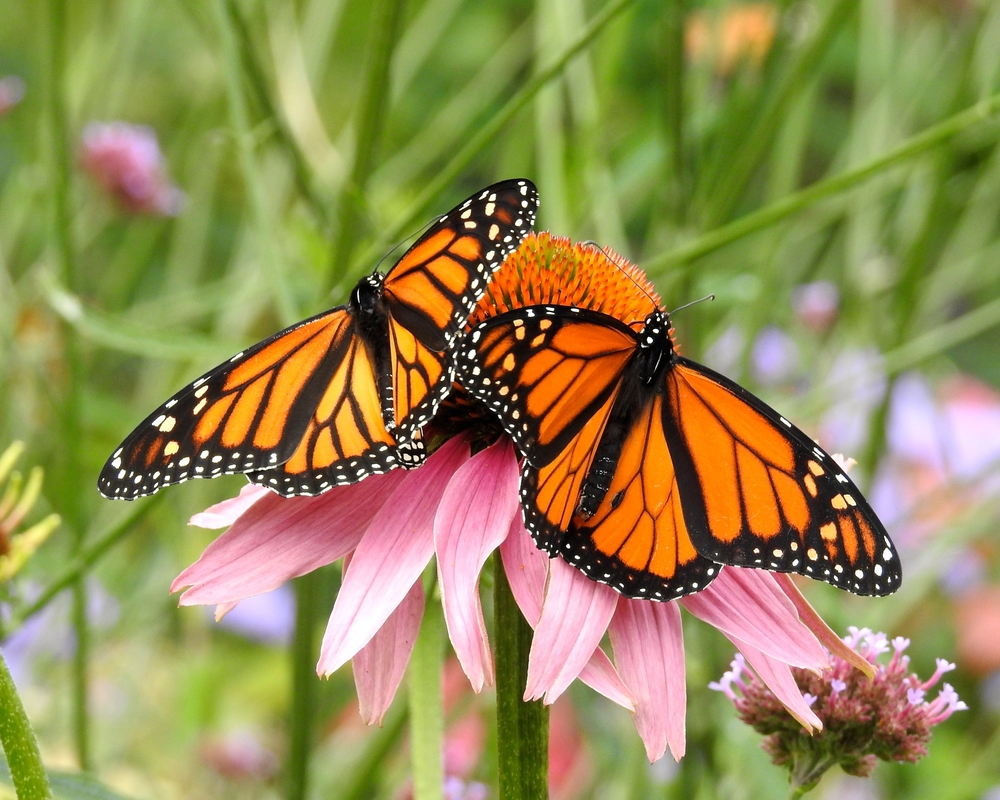 2 monach butterflies on a coneflower