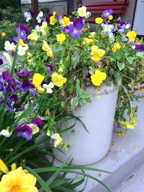This pot of spreading pansies makes my heart sing. Yes, they will die down in the heat of summer, but will bounce back come fall when the temperatures dip.