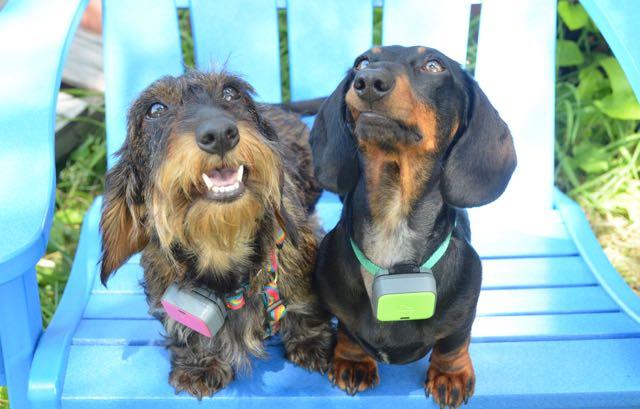 Two miniature dachshunds